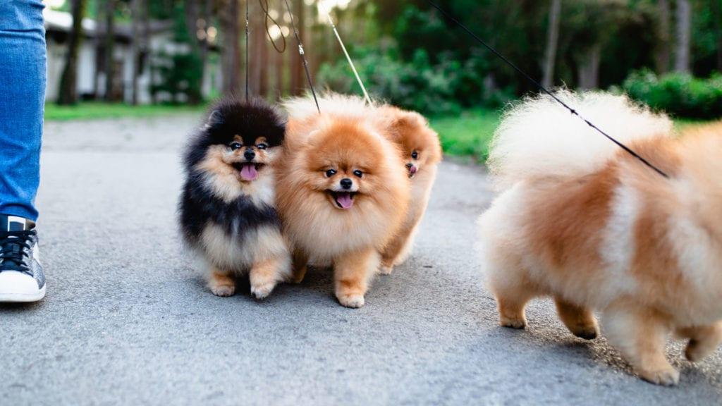 Happy Dogs Walking